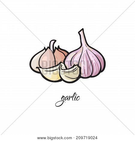 Garlic bulb and cloves with caption, sketch style vector illustration isolated on white background. Hand drawn garlic spice - whole bulbs and cloves, peeled and unpeeled
