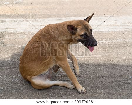 domestic dog try to scratching its skin.