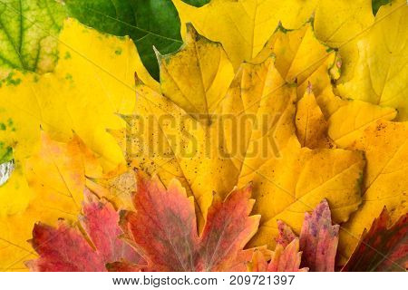 Yellow Red And Green Maple Leaves With Gradient Close-up Background