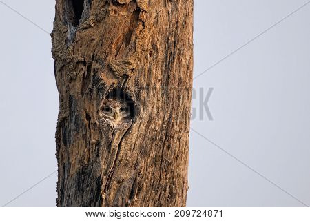 Spotted Owlet (athene Brama) Sitting In A Hollow Of A Tree In Keoladeo Ghana National Park,  Bharatp