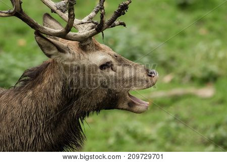 A deer yawning, standing on the meadow