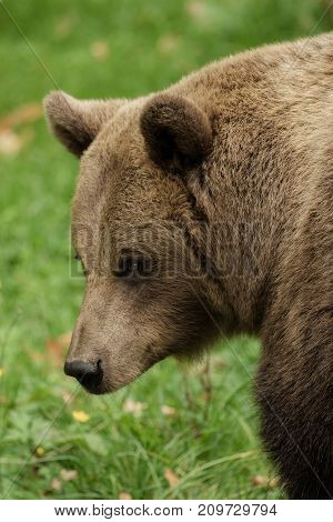 Head of a brown bear standing on the meadow