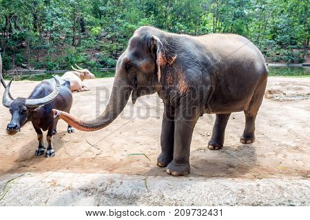 Domestic Asian elephant or elephas maximus in the zoo