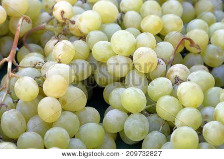 a bunch of grapes freshly harvested white
