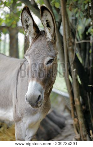 donkey (of Ammiata) in the fence of the farm