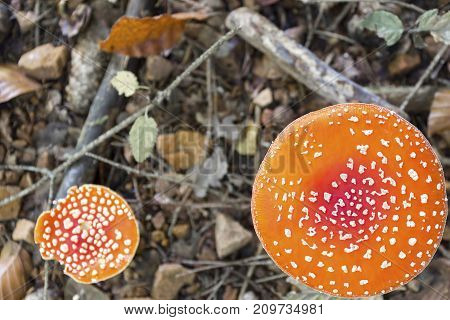 big and small dangerous poisonous mushroom Amanita muscaria in forest on ground with green and brown leaves twigs and stones autumn fall colors