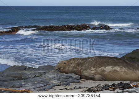 Male Southern Elephant Seal (Mirounga leonina) lying on a kelp strewn beach on Sea Lion Island in the Falkland Islands.