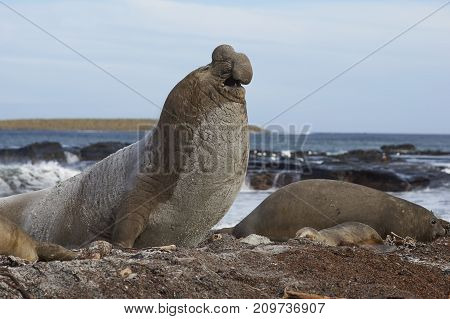 Male Southern Elephant Seal (Mirounga leonina) manoeuvring on a sandy beach to keep an eye on rivals during the breeding season. Sea Lion Island in the Falkland Islands.