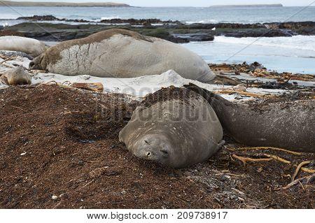 Group of Southern Elephant Seals (Mirounga leonina) lying on a kelp strewn beach on Sea Lion Island in the Falkland Islands.