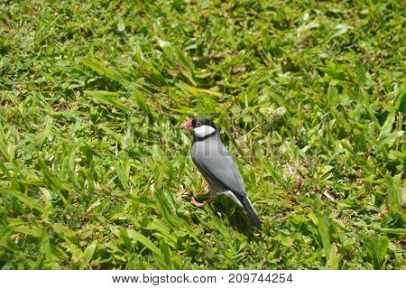 NATIVE BIRD OF HAWAII, Big Island, USA, EEUU