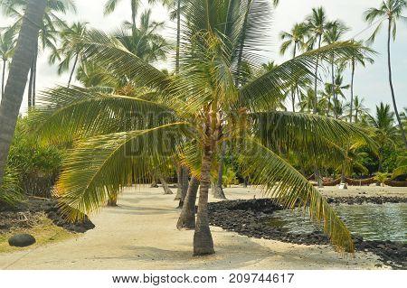Palm in Hawaii Big Island Hawaii USA.
