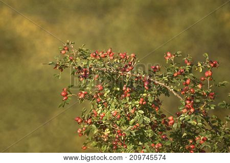 Rose hips plant with Beautiful bokeh from mirror lens,