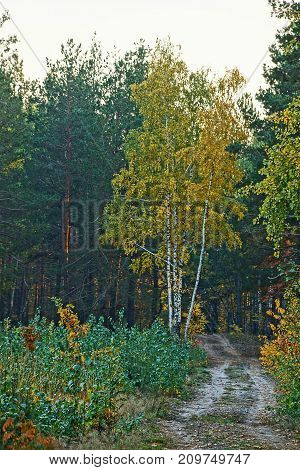 Yellow birch on the edge of a forest with a sandy road