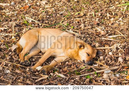 A mongrel sleeping on the dry leaves of grass lying on the ground