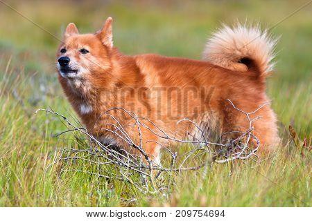 hunting dog finnish spitz among the grass
