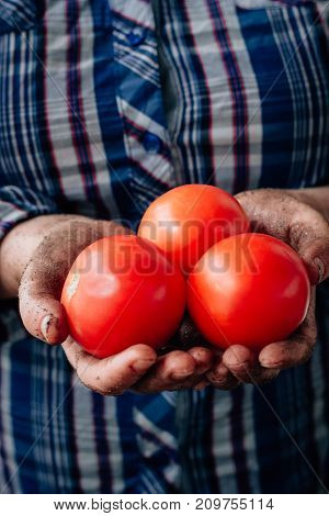 Farmer hands holding fresh ripe red tomatoes