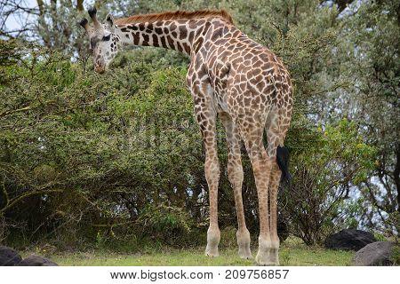 giraffe on Kilimanjaro mount background in National park of Kenya Africa
