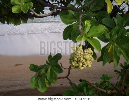 Flowering Tree On Hawaiian Beach