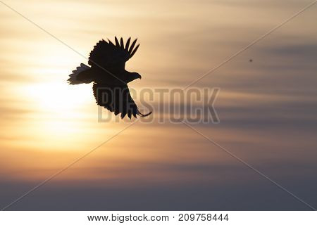 Silhouette of the white-tailed eagle against the sunset Horizontal