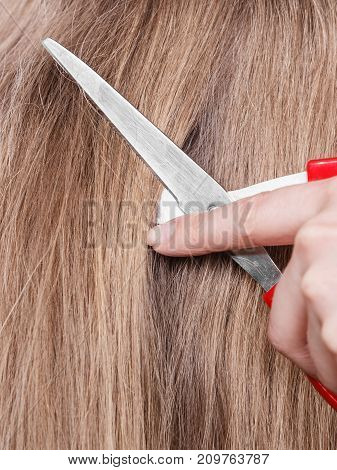 Red Scissors On Blonde Hair. Close Up.