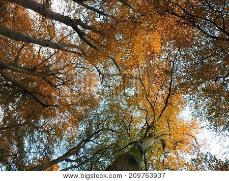 fall beech trees in beautiful autumn colors looking upwards with blue sky