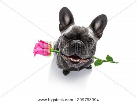 Dog Looks Up With Rose For Valentines