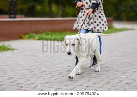 Funny doggie walking with owner on the street. Pet with girl outdoors on a natural background. Close-up of dog. Animal concept.
