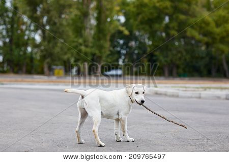 Happy doggie playing with wooden stick on the street. Beautiful labrador walking on the natural background. Animal concept.