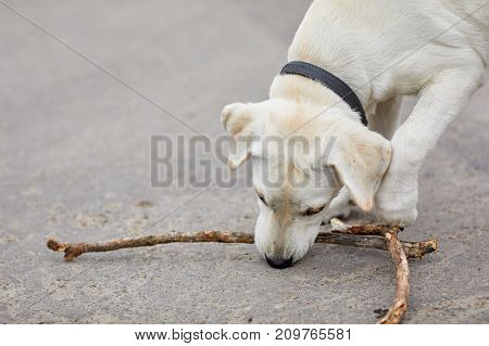 Happy doggie playing with wooden stick on the street. Beautiful labrador walking on the natural background. Close-up of dog. Animal concept.