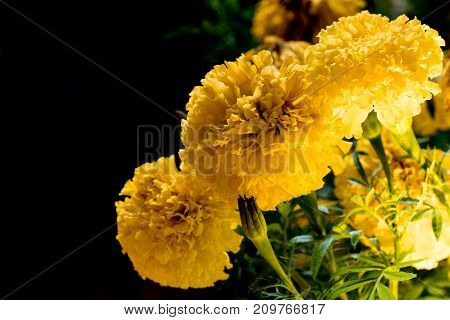 Real Marigold flowers at night for Decorate in the Bangkok City, This is During the mourning to King Rama 9 of Thailand. focus to center flower.