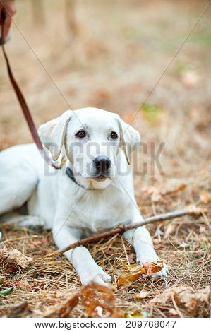 Happy white labrador retriver walking and playing in the forest. Dog having fun with wooden stick on the nature background. Close-up of doggy. Animal concept.