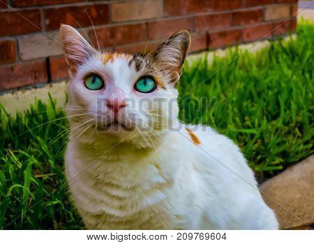 Green eyes white cat with brown and black ears.