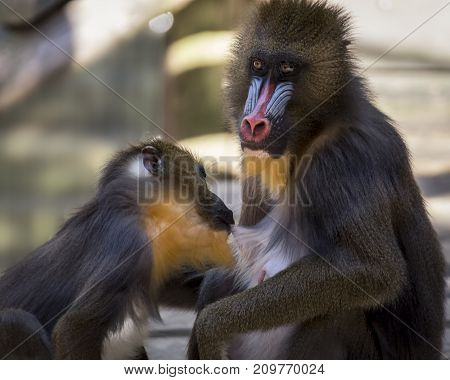Mandrill monkey breast feeding its baby shot