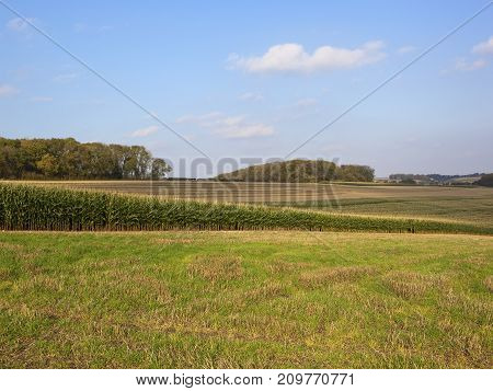 Maize Crop And Woodland