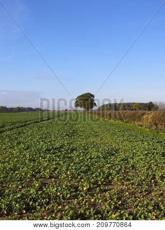 Oilseed Rape And Oak Tree