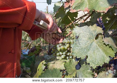 Farmer with garden scissors cutting a large bunch of grape in sunny valley. Ripe wine grapes and secateurs in farmer's hands. Wine concept Natural grapevine