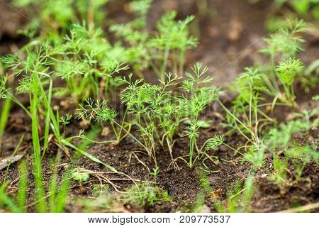 young green shoots of dill growing in the soil. Agriculture background