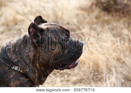 Funny doggie walking on the street. A big dark pitbull on a natural background. Close-up of dog. Animal concept.