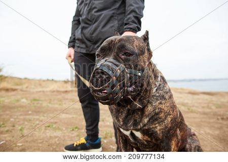 A big dark pitbull with muzzle walking outdoors. Cute dog standing near the man. River on the background. Close-up of doggie. Animal concept.