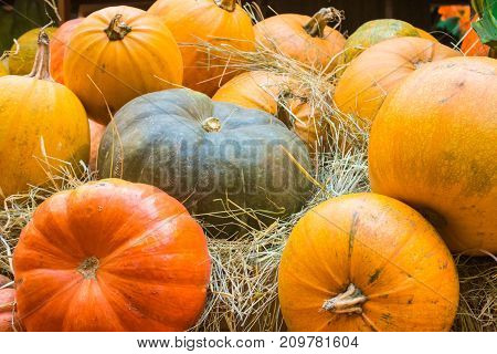 Orange and green pumpkins. Agricultural products on the hay