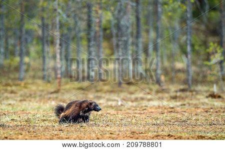 Wolverine in wild nature. Natural habitat. Glutton carcajou skunk bear or quickhatch (gulo gulo)