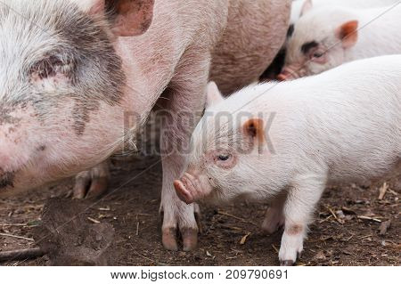 Fertile sow and piglets suckling milk on farm