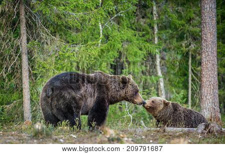 Bears Sniff Each Other. Wild Adult Brown Bears ( Ursus Arctos ) In The Summer Forest. Green Natural