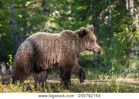 Young Brown Bear ( Ursus Arctos ) In The Summer Forest. Green Natural Background