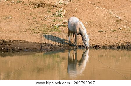 Palomino stallion wild horse reflecting in the water while drinking at the water hole in the background in the Pryor Mountains Wild Horse Range in Montana United States