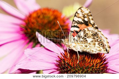 A painted lady butterfly looking away from the camera on a purple coneflower in Maine
