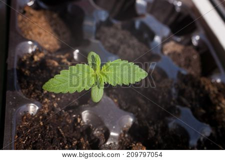 Healing marijuana germinating seed a small young green sprout with leaves