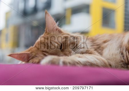 A ginger maine coone cat sleeping on a pink cushion poster