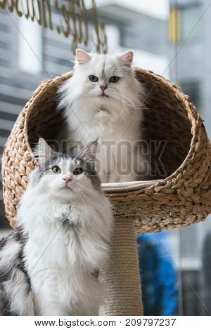 A Norweigan Forest Cat And A Chinchilla Persian Cat Sitting On A Cat Bed