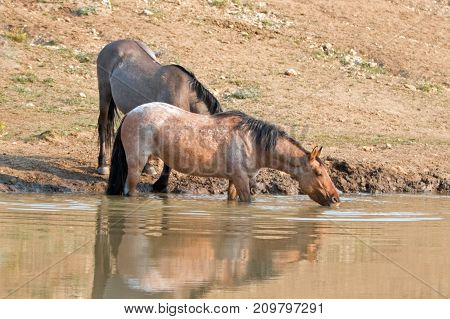 Red Roan mare reflecting in the water while drinking at the waterhole with Grulla and Black wild horses in the Pryor Mountains Wild Horse Range in Montana United States